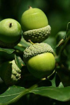 Green Acorns ....