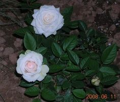 How to save a potted gift rose