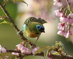 Fotografias de aves brasileiras - Concurso Avistar 2010 - BICHOS - Álbum de Fotos  SAIRA LAGARTA