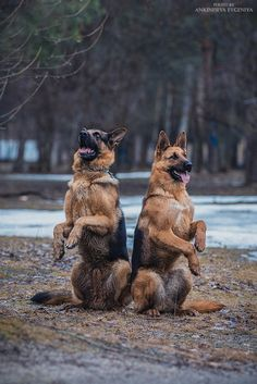 German Shepherds. By Evgeniya.                                                                                                                                                      More
