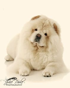 Chow Chow. By Julie Poole.