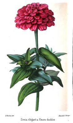 Zinnia. Plate from 'Revue Horticole' Published 1861 by Librairie Agricole de la Maison Rustique .                     https://archive.org/stream/revuehorticole02frangoog#page/n308/mode/2up