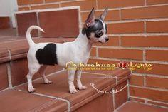 Chihuahuas Love - Dieta de Mantenimiento en Chihuahuas. Evitar La Obesidad en Un Chihuahua. 2ª Entrega.