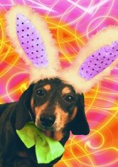 "Musical dachshund birthday card featuring the singing dachshund, Lucy Lou. Inside message: ""Hoppy Be-bop birthday to you! Black And Tan Dachshund, Dachshund Love, Daschund, Easter Dogs, Congratulations, Birthday Cards, Musicals, Singing, Greeting Cards"
