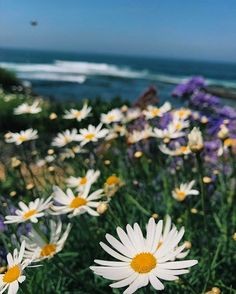 I lit up when I saw these daisies, I swear it's the little things I enjoy✨ #nature #earth #daisy #daisies #lajolla #lajollacove #sandiego #ocean #beach #nature #tumblr #iphone7 #photography #colorful #feed #like #follow #westcoast #sandiego #thelittlethings #selflovejourney #happiness #litup #lajollalocals #sandiegoconnection #sdlocals - posted by Colourful Creator🚀  https://www.instagram.com/radiatewhatyoulove. See more post on La Jolla at http://LaJollaLocals.com