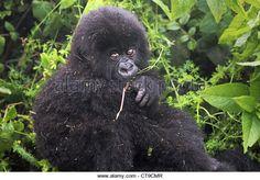 Un Gorila De Montaña De Bebé Que Descansa Sobre La Parte Trasera De Su Madre En Las Montañas Virunga Entre El Congo - Imagen De Archivo