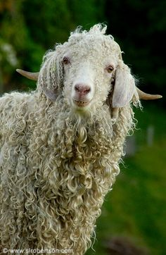 We can have angora goats one day, ja?