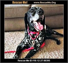 """""""Click here to view German Shorthaired Pointer Dogs for adoption, or post one in need."""" ― ♥ RESCUE ME! ♥ ۬"""