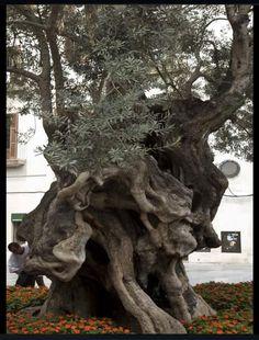 Old olive tree Palma, Spain