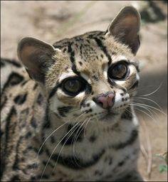 Margay Cat - Beautiful Eyes *_*
