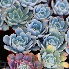 Glowing Succulents