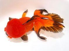 2013年07月19日 : 大森町水族館 Oranda goldfish butterfly tail