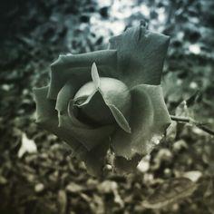 Rosales.  Grises  Melancolía