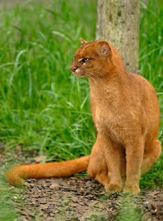 The jaguarundi (Puma yagouaroundi syn. Herpailurus yagouaroundi), also called eyra cat, is a small-sized wild cat native to Central and South America.