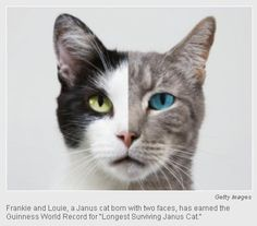 Cat With Two Faces Earns Guinness World Record for Longest Living Janus Cat. According to News Telegram.com, a cat named Frankie and Louie has earned an odd Guinness World Record; he has become the longest living Janus cat. A Janus cat is a cat that, despite the odds, is born with two faces. Janus cats have an incredibly low prognosis for living after they are born; more often than not, they die within a few hours or days after birth. ... #Animal #Picture #Photo #CuteAnimals #Nature