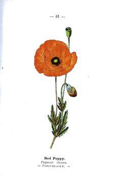 775 Vintage Botanical Flowers - Premium Member -Public Domain Images