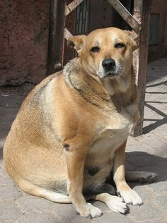 How to Help Your Dog Lose Weight: 6 Steps (with Pictures)