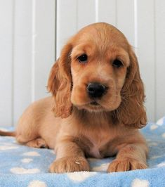 Baby Dogs, Pet Dogs, Dogs And Puppies, Doggies, Cute Puppies Images, Puppy Images, Golden Cocker Spaniel Puppies, Cocker Spaniel Anglais, King Spaniel