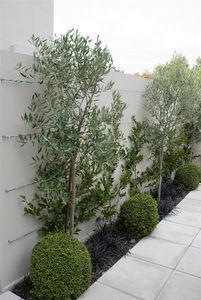 Planting Combinations - Espaliered Camellias & Buxus Balls