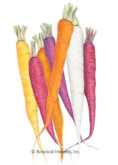 Carrot Calliope Blend Seeds