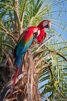 Red and Green Macaws, Pantanal Matogrossense - Brazil