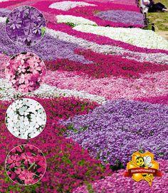 """Phlox-Mix """"Flowers of the Sea"""",4 Pflanzen günstig online kaufen - Mein Schöner Garten Shop"""