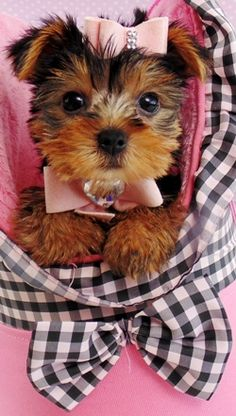 teacup yorkie puppies for sale in ohio teacup yorkie puppies for sale in ohio zoe fans blog 2528