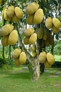 Might be jackfruit but Thought it was Durian on the tree - one the most horrid smelling fruits on the planet. Fruit Plants, Fruit Garden, Garden Seeds, Fruit Trees, Trees To Plant, Fruit Fruit, Vegetable Garden, Beautiful Fruits, Beautiful Flowers Garden