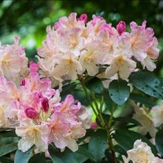 Rhododendron Percy Wiseman - Rhododendron nain