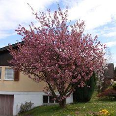 les 25 meilleures id es de la cat gorie arbuste japonais sur pinterest am nagement jardin. Black Bedroom Furniture Sets. Home Design Ideas