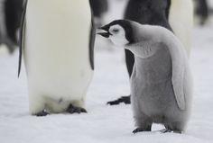 Emperor Penguin Chick - Emperor Penguin Chick at Snow Hill, Antarctica. Emperor Penguin, Cute Penguins, Antarctica, Cute Animals, Birds, Snow, Water, Comedy, Wildlife