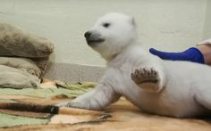 Watch A Polar Bear Cub Attempt To Walk | Popular Science