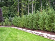 59 Ideas for backyard privacy landscaping trees evergreen Natural Privacy Fences, Privacy Fence Landscaping, Shrubs For Privacy, Garden Privacy Screen, Landscaping Trees, Backyard Fences, Privacy Hedge, Natural Landscaping, Natural Fence