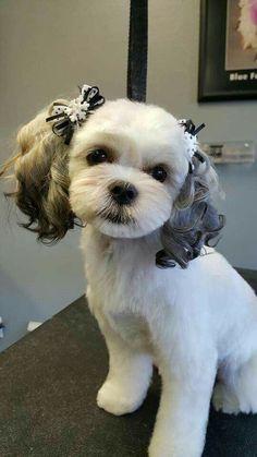 Looks Like My Old Harley Puppy Love Pinterest Shih Tzu Dogs