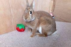 Ichigo san 493 いちごさんうさぎ rabbit bunny netherlanddwarf brown ichigo ネザーランドドワーフ ペット いちご うさぎ