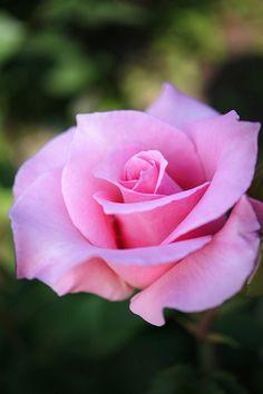 Rose~