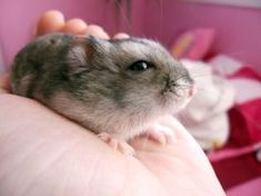 Hammie by hhannie - #hamsters #hamster