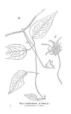 The vines of northeastern America; - Biodiversity Heritage Library