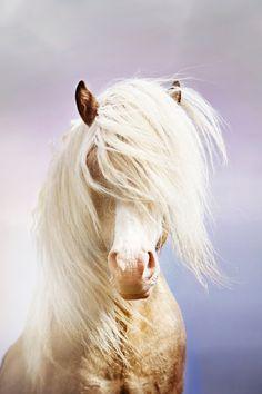 Magic Stallion - Icelandic Horse by Gigja Einarsdottir