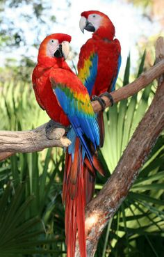 "Exotic Pets 620511654889881190 - Love You !"" Source by martinepletlebon Pretty Birds, Love Birds, Beautiful Birds, Animals Beautiful, Cute Animals, Tropical Birds, Exotic Birds, Colorful Birds, Exotic Pets"