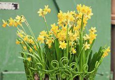 Pienikukkainen tête à tête -narsissi sietää hyvin viileää säätä ja pakkastakin. Kasvata pikkunarsissit sipuleista tai istuta ne keväällä ruukkuihin. Lue Viherpihan ohjeet!