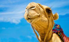 Mit dem Mietwagen durch die Wüste ist dir zu langweilig? Dann lieber mit einem Kamel? Definitiv die abenteuerlichere Alternative :).  http://bit.ly/1l67dLb