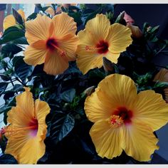 Hibiscus tree for out front Hibiscus Tree, Small Garden Landscape, Annual Flowers, Flowering Trees, Exotic Flowers, Beautiful Gardens, Garden Landscaping, Flower Power, Garden Design