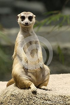 Inquisitive Meerkat Sitting Stock Image - Image: 24652131