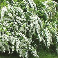 Vanhouette Spirea - classic bridal wreath spirea.  Masses of small, white flower clusters cover the plant in the spring.    Among the easiest flowering shrubs to grow, spireas are often used in foundation plantings, as hedges, and in perennial gardens. Most spireas bloom in late spring to midsummer