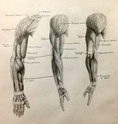 Human Anatomy Muscles Drawing Muscle Anatomy Drawing Images – Learn Human Anatomy Image
