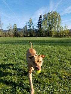 DZ's Adventures: Disaster Avoided. Hiking Dogs, Dog Treat Recipes, Pit Bulls, Health And Safety, Dog Treats, Dog Training, Adventure, Pets, Animals