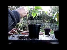 ▶ How to Grow Bonsai Mango Trees from Seeds Part 5 - YouTube