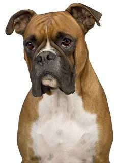 Boxer breed review. Pros and Cons