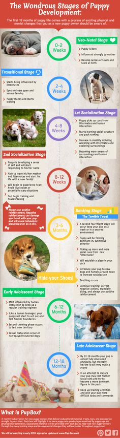 Check out an infographic we created to help walk you through the many steps and developmental stages you and your new pup will encounter throughout puppyhood.